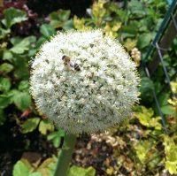 Biene auf einer Zwiebelblüte Imkerei Bachmann