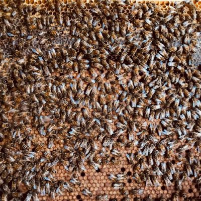 Brutwabe mit Bienen